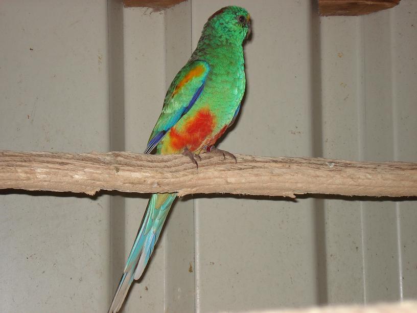 Kleur Veel Kleur : Veel kleuren vogelsvogels